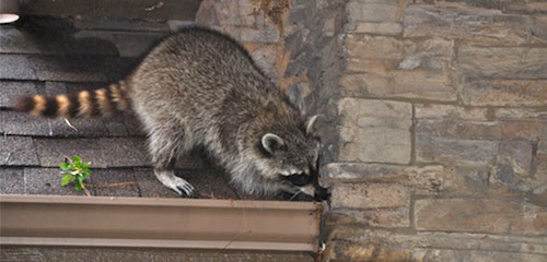 raccoons infesting home attic