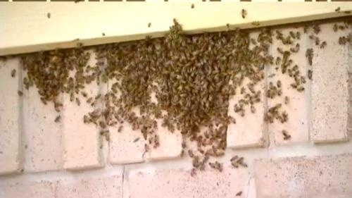bee colony nested in home